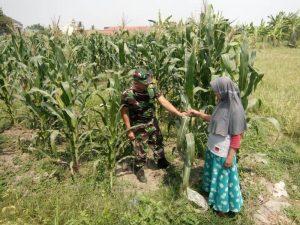 Babinsa Koramil 0815/01 Pralon Dampingi Petani Pengecekan Hama Tanaman Jagung