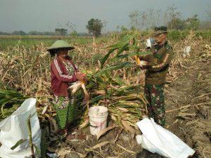 Babinsa Tanjungan Koramil 0815/06 Kemlagi Bantu Petani Panen Jagung