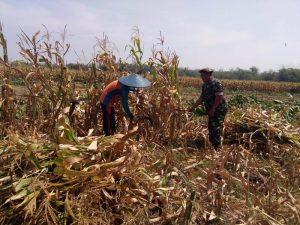 Babinsa Koramil Kemlagi Aktif Dampingi Petani Jagung